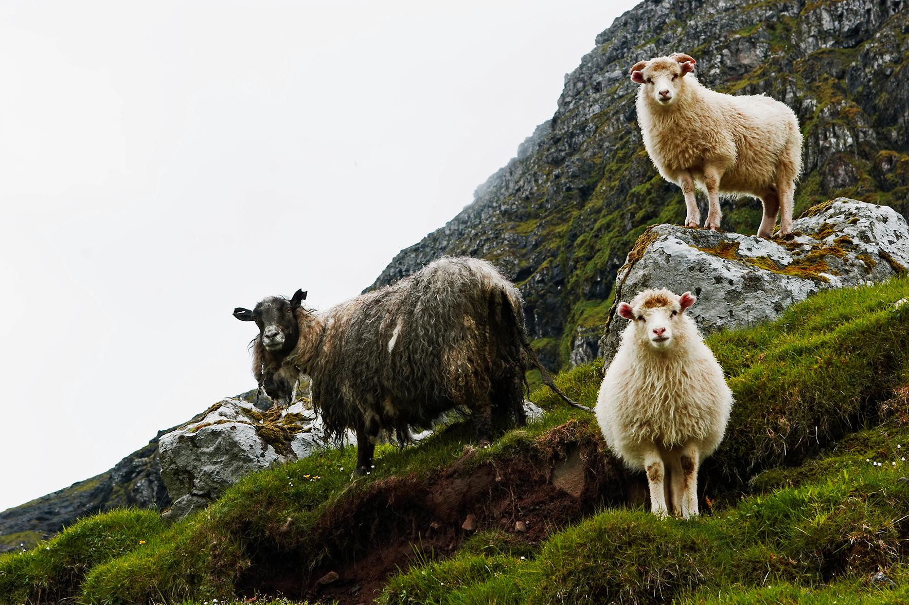 Schaapjes op de Faeröer