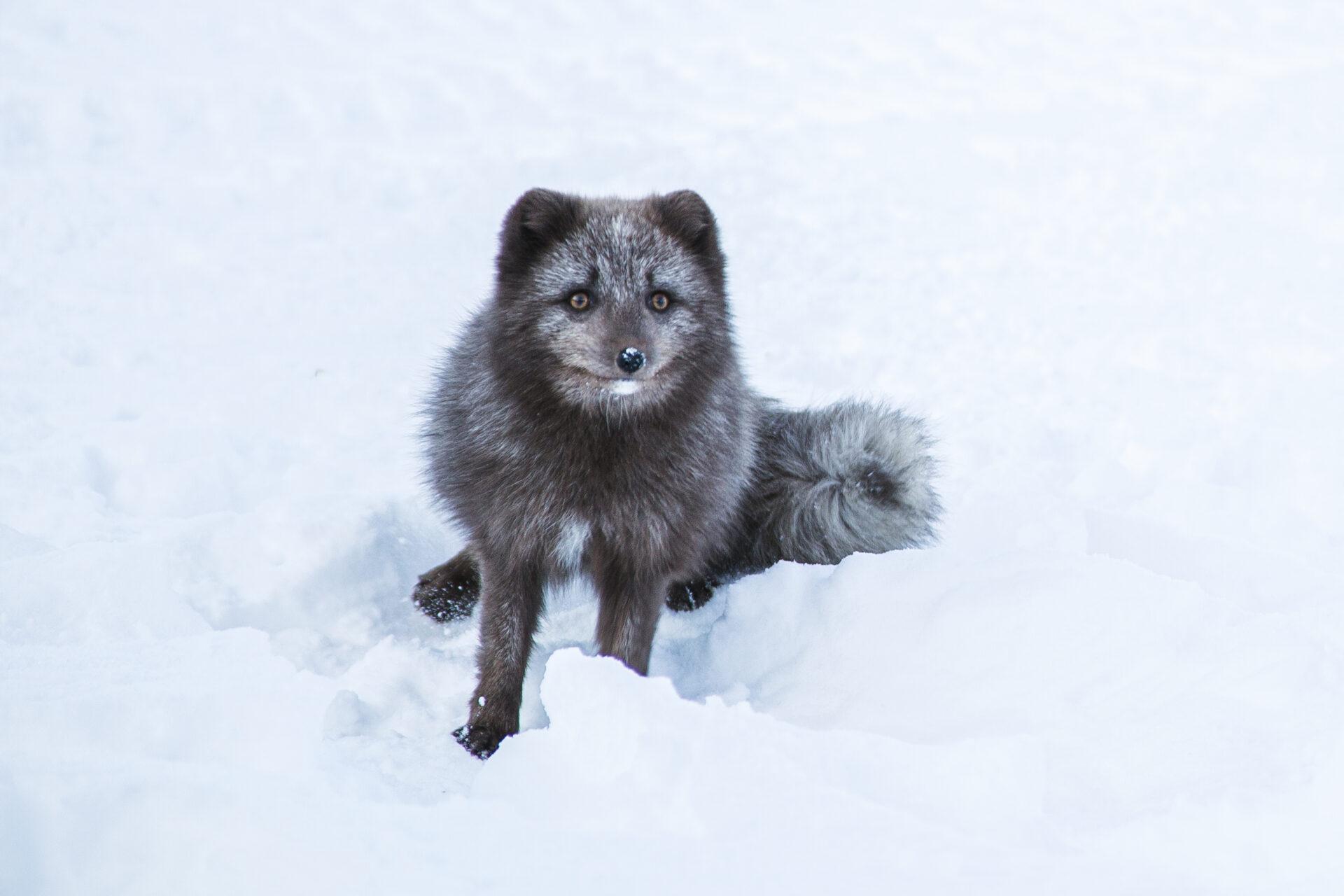 Poolvos in Zuid IJsland