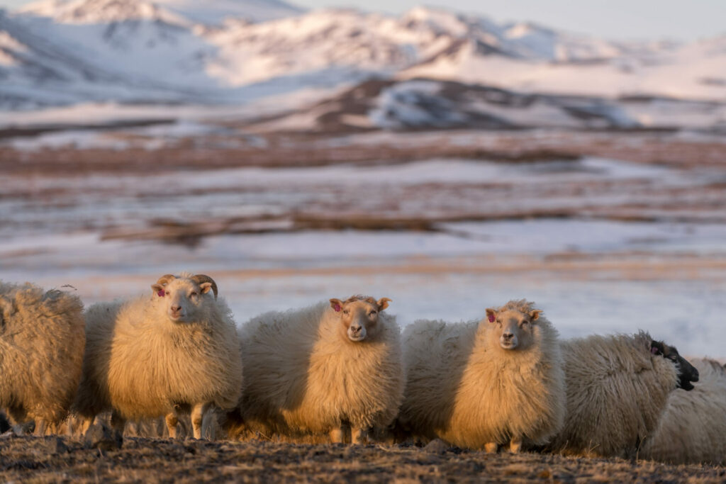Noord-Ijsland Fotografiereis schapen