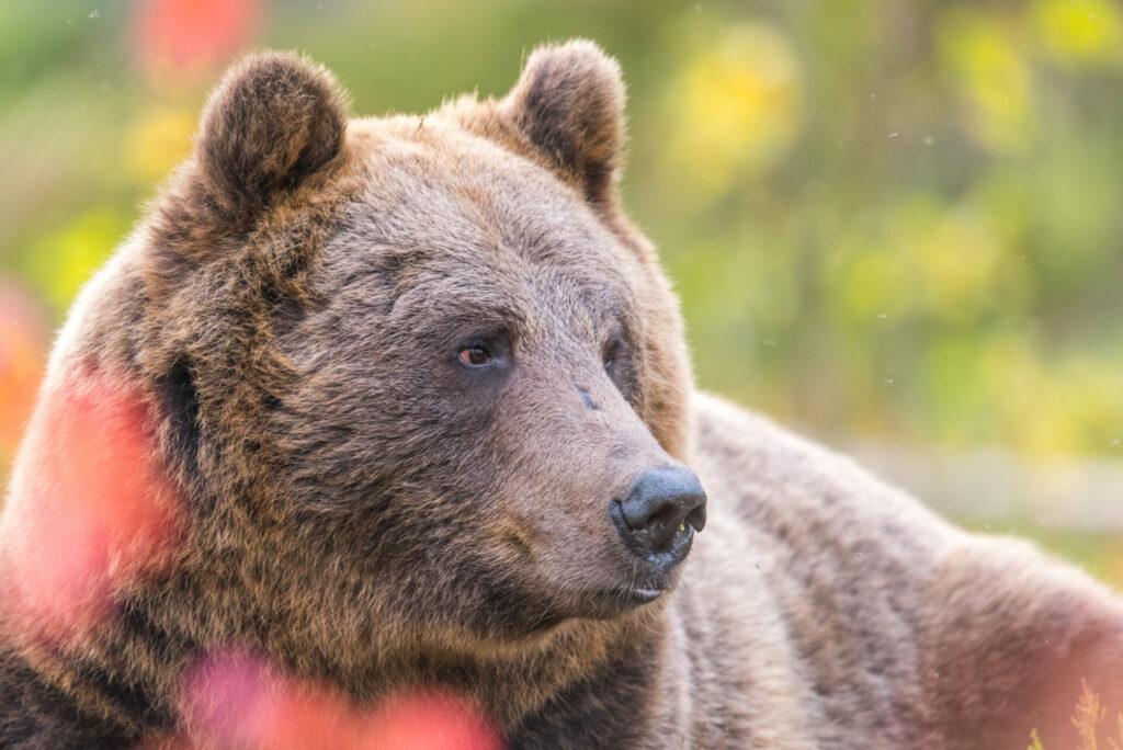 De beren bereiden zich voor op de winter