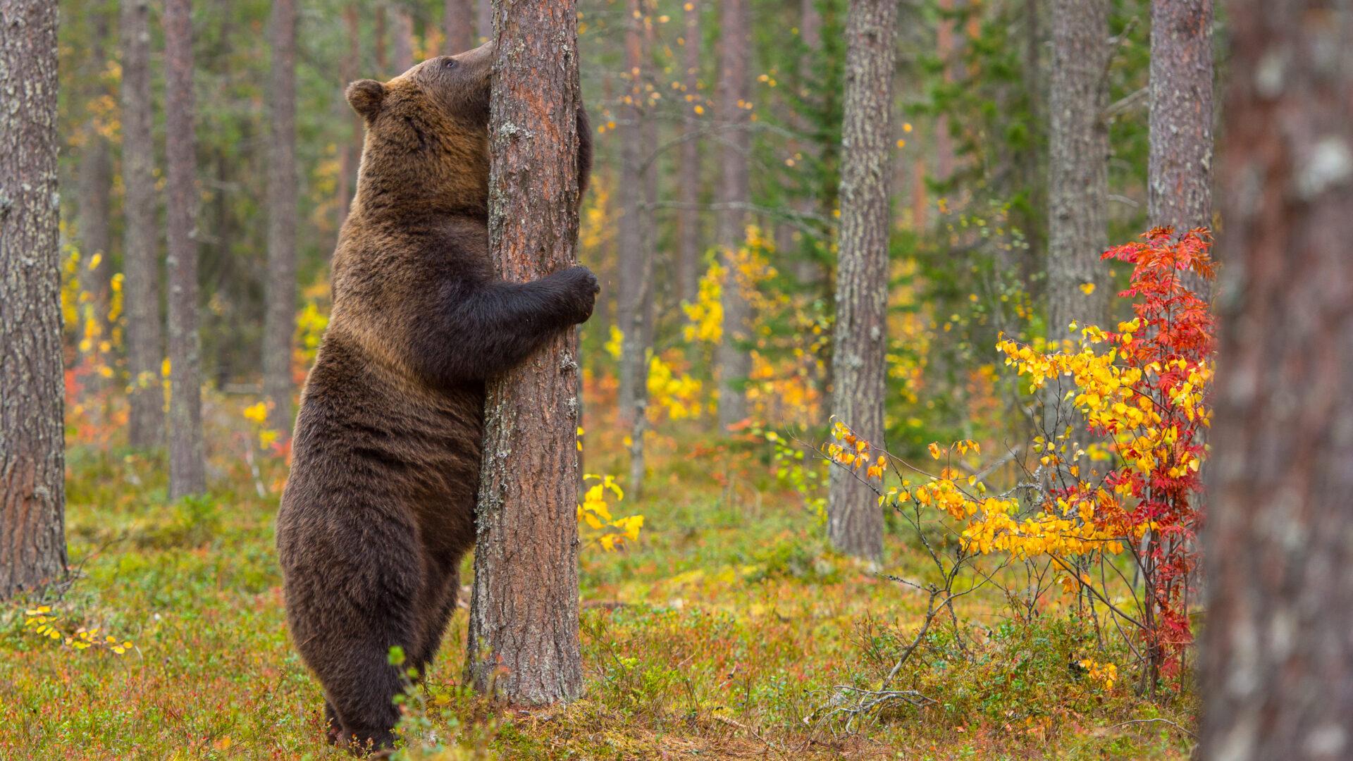 Een favoriete bezigheid van de bruine beer, zich aanschurken tegen een boom