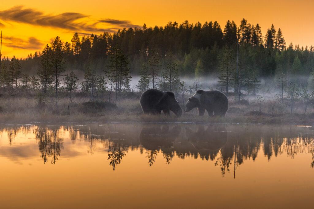 Vaak duiken er meer dan één beer tegelijk op