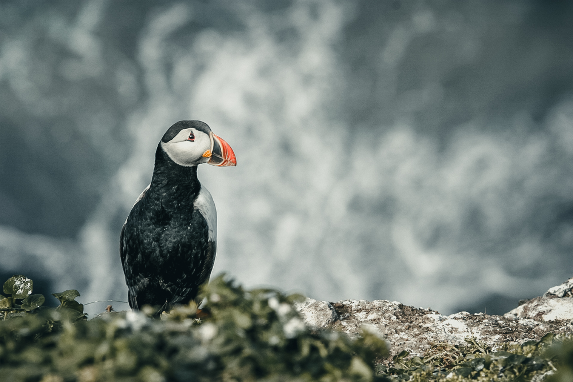 Papegaaiduiker IJsland