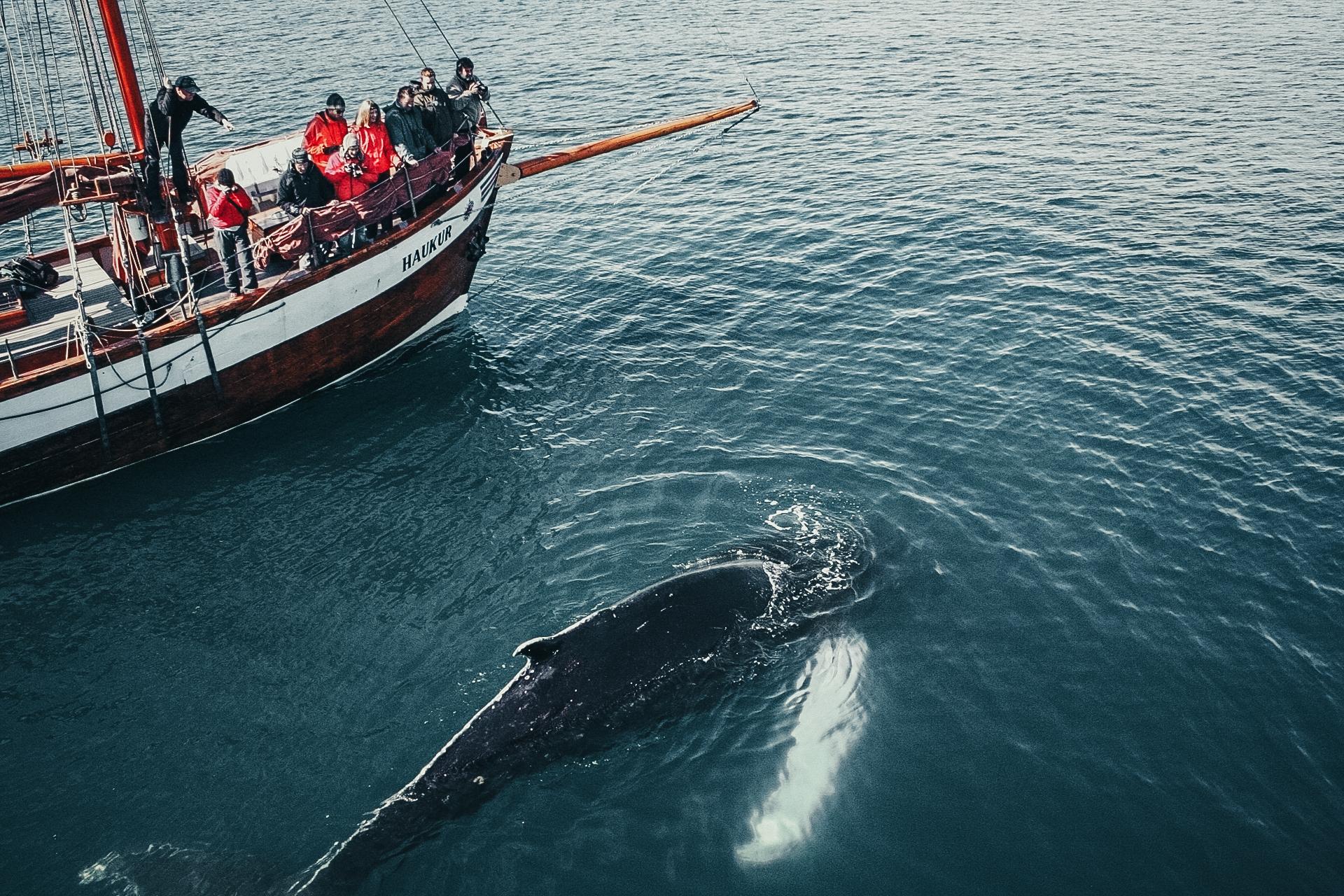 Whalewatching Husavik