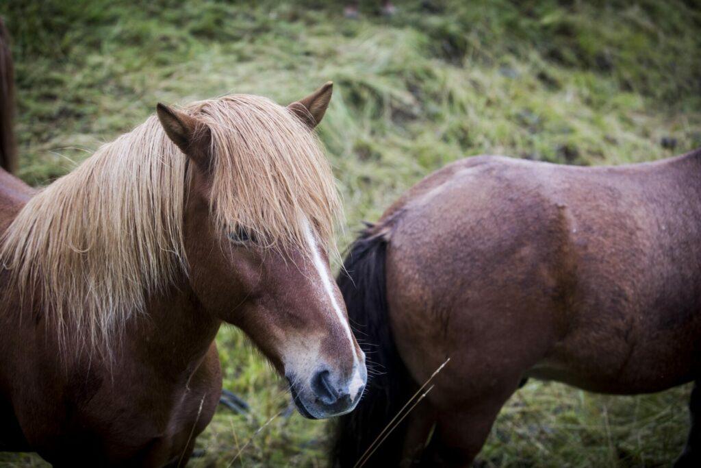 Het IJslands paard